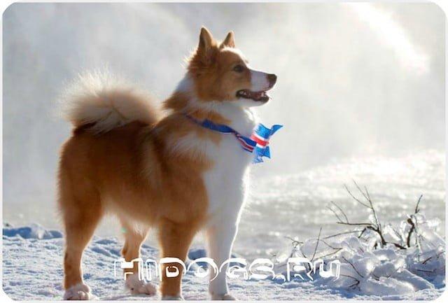 Описание породы Исландских собак, особенности содержания и ухода, история, характер, питание, щенки.