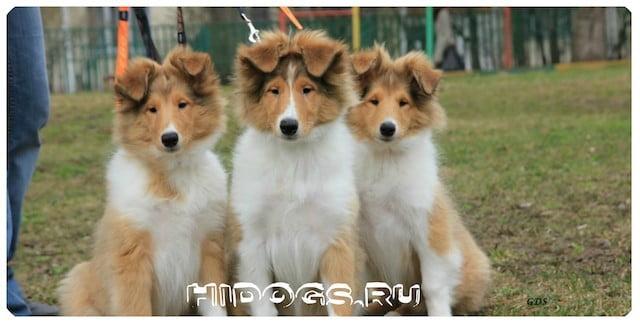Выбор щенка собаки Колли, особенности выбора, как лучше выбрать щенка.