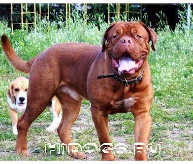 Бордоский дог: описание породы, особенности, история становления, характер и уход за собакой.