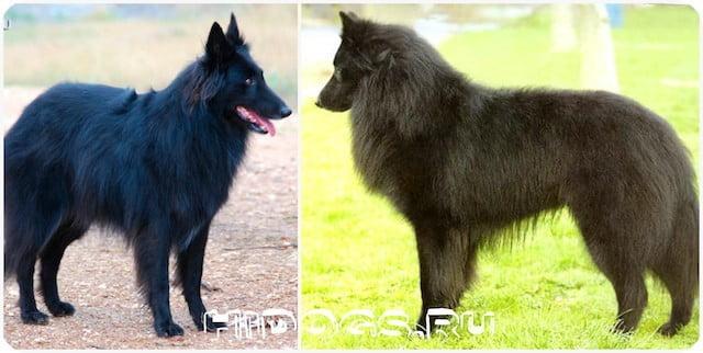 Особенности породы Бельгийских Грюнендалей, стандарт овчарки, уход и характер.