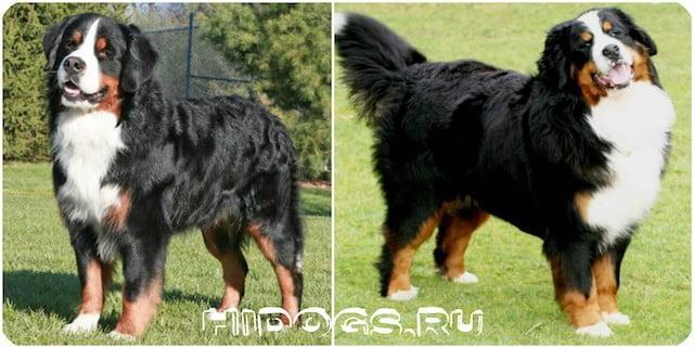 Описание и стандарт собак породы: Бернских овчарок Зенненхунд, уход, особенности характера, чем кормить.