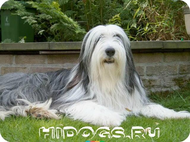 Бородатые колли: особенности содержания, уход и характер, история возникновени и стандарт собаки.