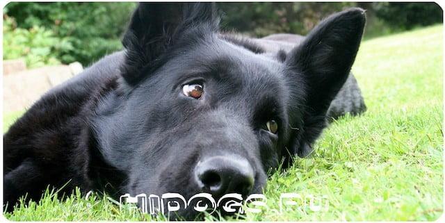 Особенности ухода и содержания черных немецких овчарок, стандарт, здоровье и воспитание собаки.