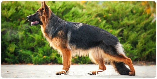 Длинношерстные немецкие овчарки, стандарт и описание породы, особенность содержания и ухода, дрессировка, характер немки.