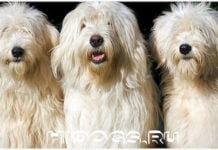 Стандарт породы Южнорусских овчарок, все о собаке от а до я, особенности ухода.