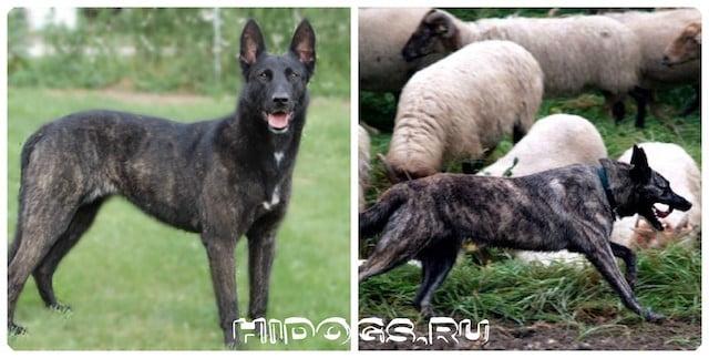 Голандские овчарки, особенности Хедера, стандарт породы, показатели здоровья, воспитание и дрессировка.