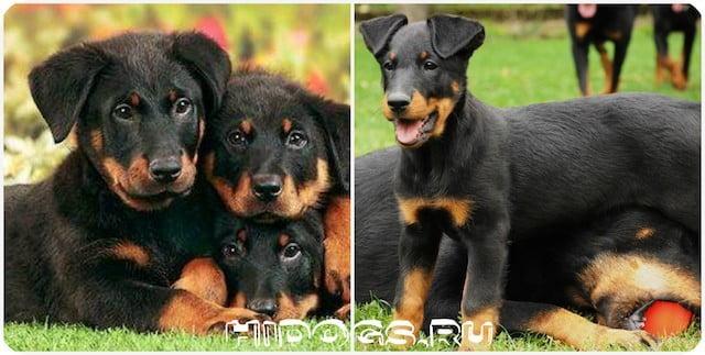 Французские овчарки Босерон, особенности породы, здоровье и уход, стандарт, внешний вид собаки.