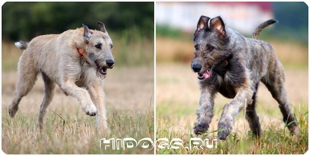 Стандарт и описание породы собак - Ирландские волкодавы, особенности воспитания, кормления, ухода.