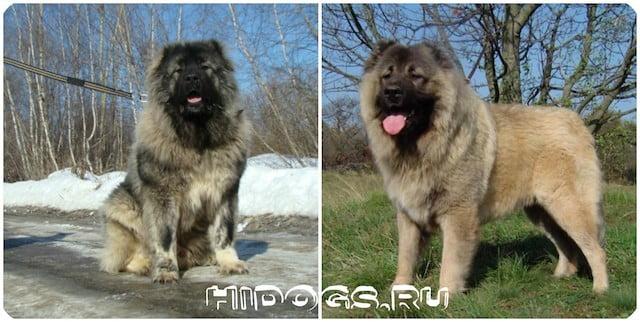 Описание породы собак и стандарт для Кавказских овчарок, особенности ухода и питания, основы воспитания.