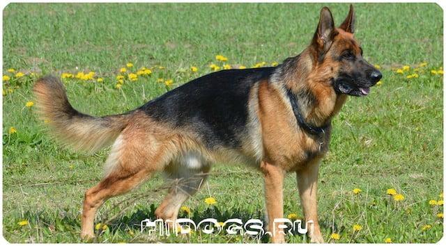 История становления породы собак: немецкие овчарки, интересные факты.