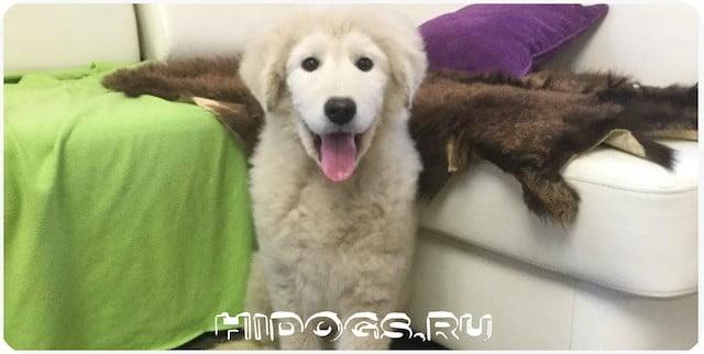 Все особенности породы собак - Овчарок маремма абруццкая, стандарт и описание, как ухаживать, чем кормить.