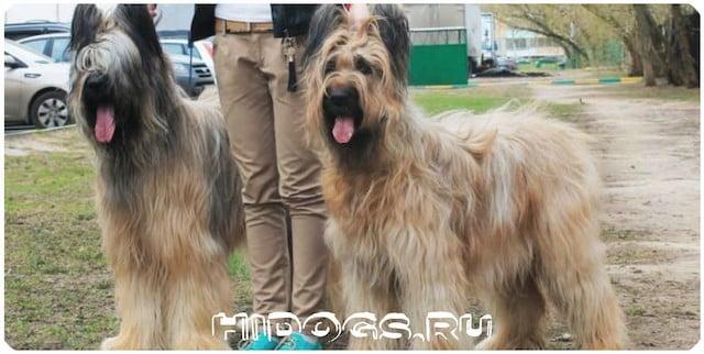 Собаки породы Французские овчарки - Бриар, стандарт породы, особенности содержания и кормления.