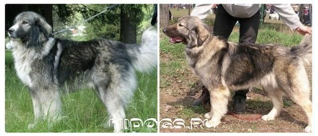 Румынские овчарки, особенности, стандарт породы, здоровье, как правильно ухаживать и корить.