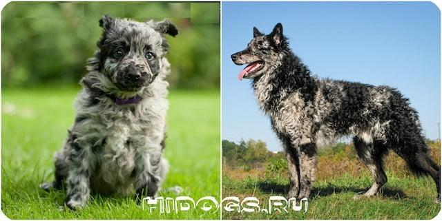 Фотографии собак породы Муди или Венгерская овчарка, щенки подростки на улице, черного окраса.