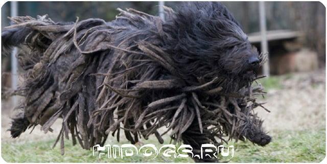 Пес - бергамаско, Бергамские овчарки, описание породы, стандарт, как ухаживать за шерстью животного.