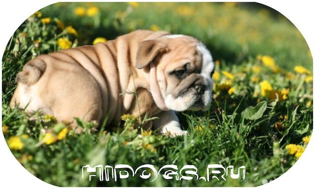 Описание собак Английских бульдогов, особенности породы, стандарт, уход и содержание, здоровье.