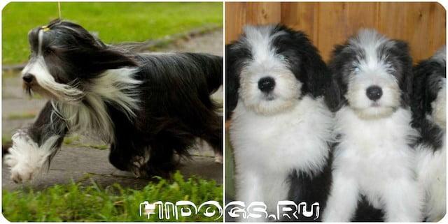Стандарт породы собак - Бородатые колли, особенности ухода и воспитания, внешность, особенности.