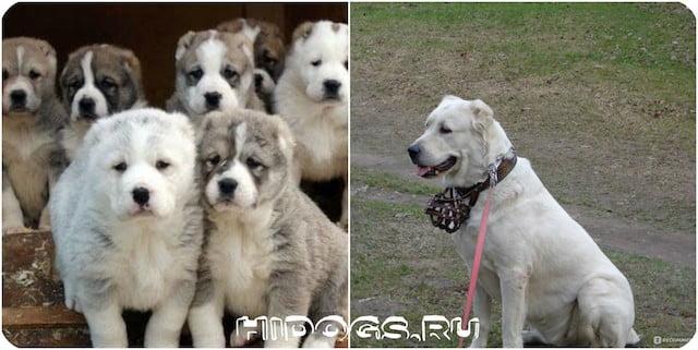 Туркменский алабай особенности породы, стандарт, как выбрать щенка, содержание собаки.