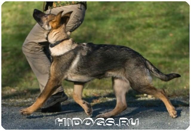 Как правильно дрессировать немецкую овчарку, с чего начинать дрессировку, во сколько месяцев учить командам щенка.