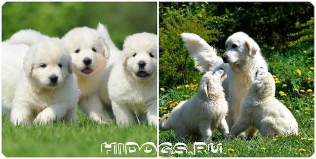 Подгалянская овчарка (польская подгалянка) особенности породы, стандарт, описание и уход за животным.