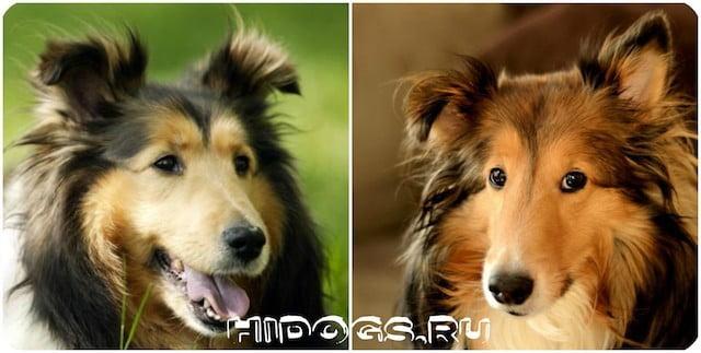 Все о породе собак Колли или Шотландские овчарки, стандарт породы, особенности ухода и содержания, здоровье и продолжительность жизни, как правильно выбрать щенка.