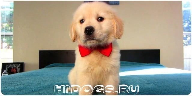 Стандарт породы собак - Золотистые псы ретриверы, особенности породы, уход, воспитание.