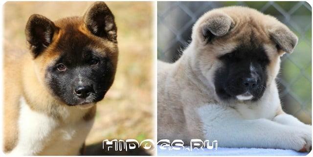 Порода собак - Американские Акиты, стандарт, полное описание, уход и особенности дрессировки, характера.