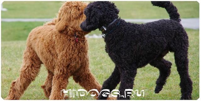 Все о породе собаки - пудель, какие окрасы и виды бывают, уход, воспитание и характер, стандарт.