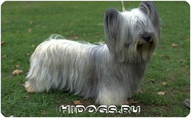 Стандарт породы шотландского скайтерьера, уход, питание, как выбрать щенка.