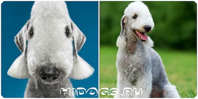 Описание породы Бедлингтон терьеров, стандарт, уход, характер и воспитание, как выбрать щенка, стоимость.