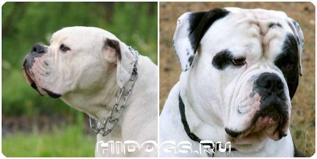 Все о породе собак - английские бульдоги, стандарт и описание, кормление и воспитание, уход и характер.