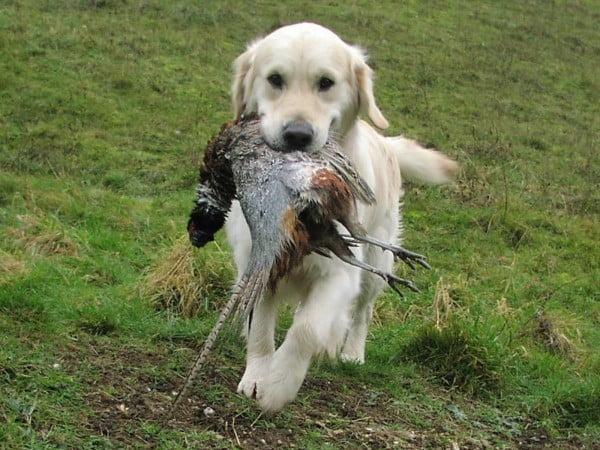 Лабрадоры на охоте, как обучить щенка и воспитать хорошего охотника.