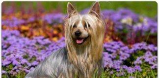 Австралийский шелковистый терьер или пес - силки, описание породы, стандарт и экстерьер, характер и особенности поведение, самое важно об уходе.