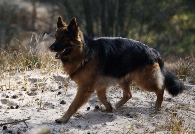 У немецкой овчарки отказывают лапы, какие могут быть причины, решение проблемы и лечения заболеваний.