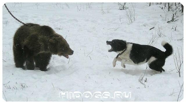 Карельские - медвежьи собаки: стандарт, описание экстерьера, чем кормить, как обучить перед охотой.