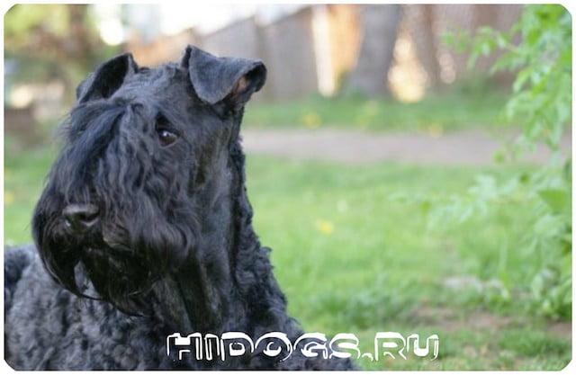 Необычный пес Керри - блю, ирландский терьер: описание породы, особенности ухода, кормления, жизни.