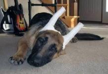 Как поставить уши немецкой овчарки, когда встают самостоятельно.