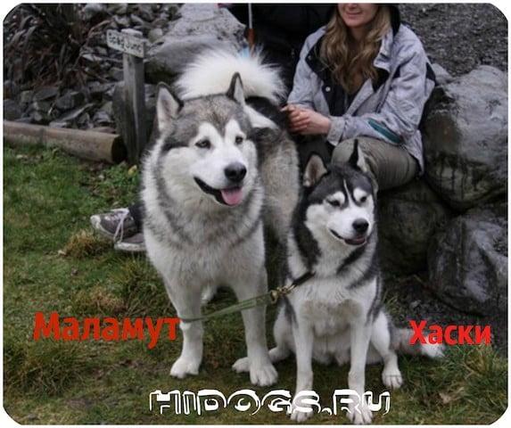 Как отличить Маламута и Хаски, главные особенности во внешности и характерах двух популярных пород.