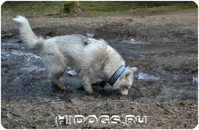 Сахалинские хаски: описание породы, стандарт, история, цена щенка, уход и характер.