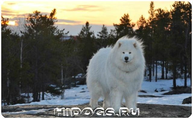 Пес - самоед, стандарт и описание породы, как ухаживать за арктическим шпицем, особенность организации физической нагрузки.