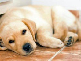 HiDogs.ru - лучший сайт о собаках