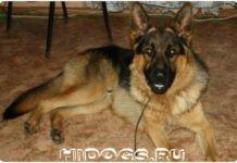 Можно ли держать немецкую овчарку в своей квартире, как правильно ухаживать, что знать перед покупкой щенка, обустроить место для собаки.