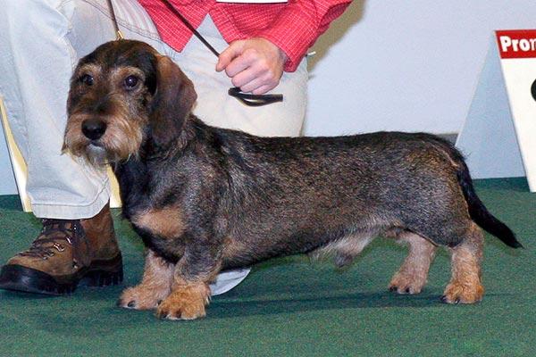 Собака - такса, описание породы, какие виды бывают, размеры, окраса и особенности ухода и содержания.