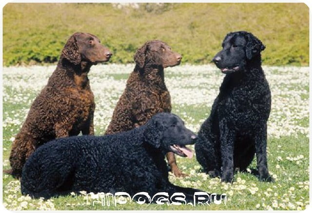 Курчавошерстные ретриверы: описание породы, стандарт, особенности воспитания, содержания, чем кормить, как выбирать щенка.