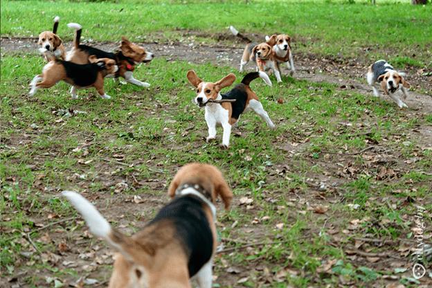 Собаки бигль веселятся на прогулке.