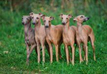 Левретка: описание породы собак