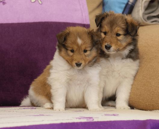 Два милых щеночка.