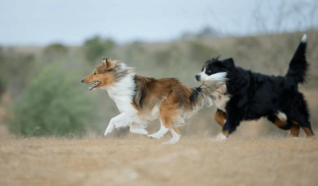 Две собаки играют.
