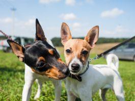 Американский той-фокстерьер: описание породы собак