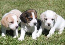 Бигль – собака для охоты и для души